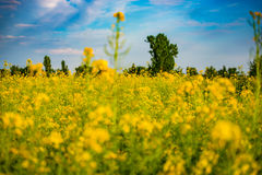 Golden field of flowering rapeseed with beautiful clouds on sky stock photos