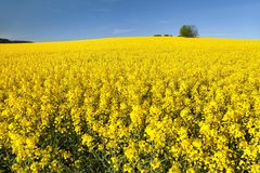 Golden field of flowering rapeseed with blue sky Royalty Free Stock Photos