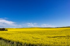 Golden field of flowering rapeseed with blue sky - brassica napus - plant for green energy and oil industry, Mildura, South. Golden field of flowering rapeseed stock images