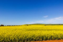 Golden field of flowering rapeseed with blue sky - brassica napus - plant for green energy and oil industry, Mildura, South. Golden field of flowering rapeseed royalty free stock photo