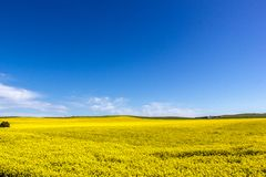 golden field of flowering rapeseed with blue sky - brassica napus - plant for green energy and oil industry, Mildura, South stock images