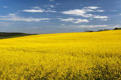 Golden field of flowering rapeseed ( brassica napus) with beauti Royalty Free Stock Photos