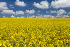 Golden field of flowering rapeseed ( brassica napus) with beautiful clouds on sky Royalty Free Stock Photo
