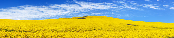 Golden field of flowering rapeseed, canola or colza Stock Photography