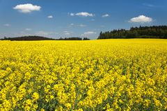 Golden field of flowering rapeseed, canola or colza Royalty Free Stock Image