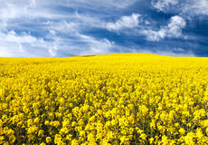 Golden field of flowering rapeseed, canola or colza Royalty Free Stock Photos