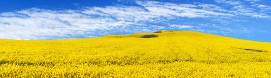 Golden field of flowering rapeseed, canola or colza Royalty Free Stock Photo