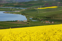 Golden field of flowering rapeseed near some lake Stock Image