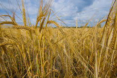 Golden field of grain Stock Photos