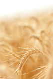 Golden field of grains Stock Photos