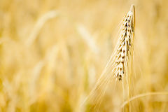 Golden field with grains stock photography