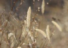 Golden Field. Golden grass in a sunlit field Royalty Free Stock Images