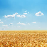 Golden field with harvest and cloudy sky Royalty Free Stock Photo