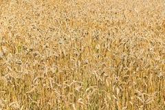 Golden field of mature wheat. Yellow Stock Photo