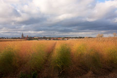Golden Field in the Netherlands Stock Photos