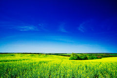 Golden field of rapeseeds. Stock Photography