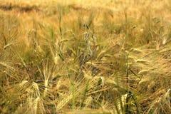 Golden Field of ripe barley Stock Photos