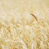Golden field of ripe cereals. One high tall ripe full-grain cereal close-up on a hot summer afternoon against a yellow. Rye field. Rural square background Stock Photo