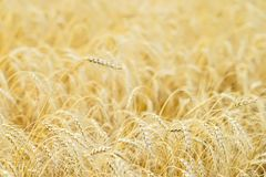 Golden field of ripe cereals. One high tall ripe full-grain cereal close-up on a hot summer afternoon against a yellow. Rye field. Rural background Royalty Free Stock Images
