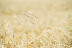 Golden field of ripe cereals. Several high tall ripe full-grain cereal close-up on a hot summer afternoon against yellow. Golden field of ripe cereals. Several Stock Photo