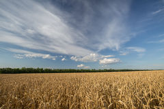 Golden field of ripe wheat Stock Photos