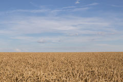 Golden field of ripe wheat Stock Photo