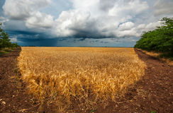 Golden field of ripe Stock Photography