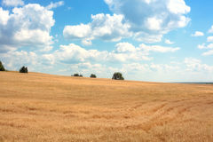 Golden field of a rye Royalty Free Stock Image