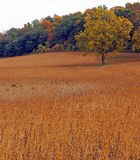 Golden field of soybeans Stock Images