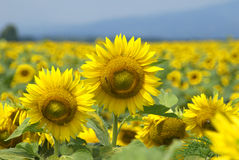 The golden field with sunflowers Stock Photography