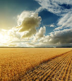Golden field and sunset. In dramatic sky Stock Photography