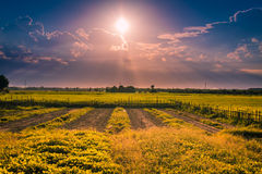 Golden field. Sunset over a golden field Royalty Free Stock Images