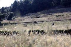 Golden field three sheep Royalty Free Stock Image