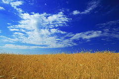 Golden field under blue Royalty Free Stock Image