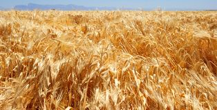 Golden Field of Unharvested Wheat Stock Photo