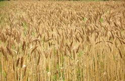 Golden Field of Wheat Royalty Free Stock Image