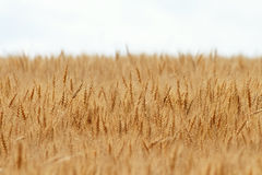 Golden field of wheat with ears full of grain in the summer Stock Photography
