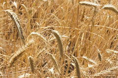 Golden field of wheat ready to be harvested Stock Image
