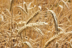 Golden field of wheat ready to be harvested Stock Images