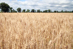 Golden field of wheat Royalty Free Stock Photography