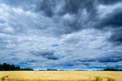 Golden field of wheat and stormy clouds. Royalty Free Stock Photos