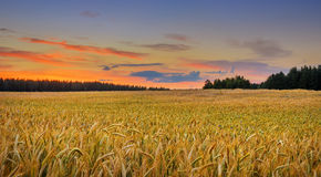 Golden field of wheat on sunset Royalty Free Stock Images