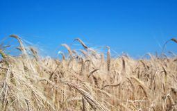Golden fields Stock Image