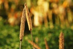 Golden fields. Plants in a golden field Royalty Free Stock Image