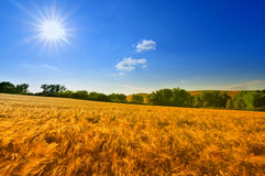 Golden Fields. Fields of Barley under the glistening sun of a summer warm day. Uckermark, Germany, Europe Stock Images