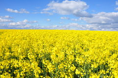 Golden fields Stock Photos