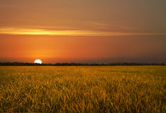 Golden Fields royalty free stock photos