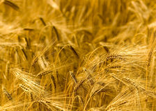 Golden Fields Royalty Free Stock Image