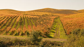 Golden Fields of Autumn Vineyards Stock Photo