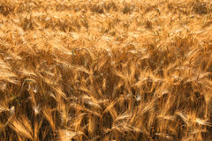 Golden fields of barley Stock Photo